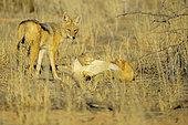 Chacal à chabraque (Canis mesomelas), Désert du Kalahari, Kgalagadi, Afrique du Sud. Les chacals sont des animaux sociaux qui vivent en famille et forment des couples très unis qui durent toute la vie. Les groupes familiaux peuvent compter jusqu'à six individus. Les couples utilisent un langage corporel très complexe.