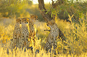 Cheetah (Acinonyx jubatus) female with her young in search of prey at sunrise, Kalahari desert, Kgalagadi, South Africa