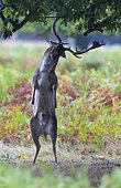 Fallow deer (Dama dama) Stag trying to bring some acorn to the ground, England, Autumn