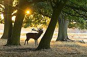 Red deer (Cervus elaphus) Red deer bellowing at sunrise, England, Autumn