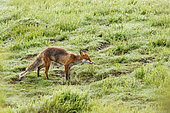 Red Fox (Vulpes vulpes) eating a worm in the grass, Vosges Mountains, France