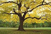 Tree American basswood Lindenwood Park, Fargo, North Dakota Tilia americana