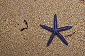 Blue sea star (Linckia laevigata) on sand, Bunaken Island, Sulawesi, Indonesia