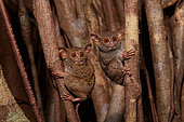 Spectral Tarsier (Tarsius tarsier) couple on Fig tree (Ficus) Tangkoko National Park, North Sulawesi, Indonesia