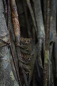 Spectral Tarsiers (Tarsius tarsier) on Fig tree (Ficus) Tangkoko National Park, North Sulawesi, Indonesia