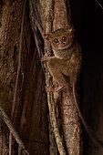 Spectral Tarsier (Tarsius tarsier) on Fig tree (Ficus) Tangkoko National Park, North Sulawesi, Indonesia