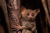 Portrait of Spectral Tarsier (Tarsius tarsier) on Fig tree (Ficus) Tangkoko National Park, North Sulawesi, Indonesia