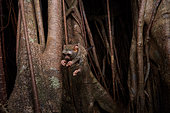 Spectral Tarsier (Tarsius tarsier) jumping from a Fig tree (Ficus) Tangkoko National Park, North Sulawesi, Indonesia
