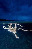 Octopus, Bunaken Island, Sulawesi, Indonesia