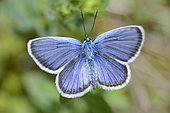 Silver-studded Blue (Plebejus Argus) male, Northern Vosges Regional Nature Park, France