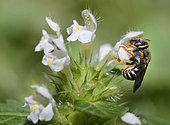 Cotton bee (Anthidium caturigense) on Betony (Stachys sp), Serre-Chevalier, Alps, France