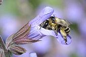 Anthophora bee (Anthophora aestivalis) female on a flower of kitchen Sage officinale (Salvia officinalis), Regional Natural Park of the Vosges du Nord, France