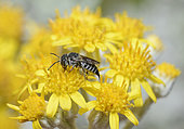 Leaf-cutting Cuckoo bee (Coelioxys echinata) female on flower, bee parasite of megachile, Pays de Loire, France