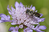Leaf-cutting Cuckoo bee (Coelioxys echinata) male on flower, bee parasite of megachile, Pays de Loire, France