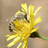 Hairy legged Mining Bee (Dasypoda hirtipes) male on Hawk Beard (Crepis sp), Northern Vosges Regional Nature Park, France