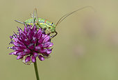 Swiss Saddle Bush-cricket (Ephippiger persicarius) female on a wild garlic (Allium sp) flower, Serre-Chevalier, Alpes, France