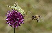 Swiss Saddle Bush-cricket (Ephippiger persicarius) female and Honey bee (Apis mellifera) fighting for a wild garlic (Allium sp) flower, Serre-Chevalier, Alpes, France
