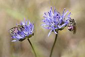 Mining bee (Halictus leucaheneus) female on flowers of Jasione, Regional Park of the Vosges du Nord, France