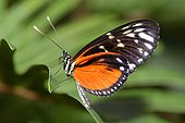 Tiger Longwing (Heliconius hecale), native to Costa Rica in a butterfly greenhouse