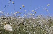 Harestail grass (Lagurus ovatus) with European beewolf (Philanthus triangulum) inlay, dune of the seaside