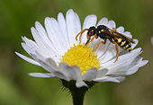 Cuckoo bee (Nomada fucata) foraging a Lawndaisy (Bellis perennis), Regional Natural Park of the Vosges du Nord, France