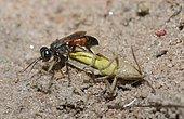 Tachysphex (Tachysphex pompiliformis) capturing a locust, Regional Natural Park of the Vosges du Nord, France