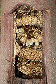 European hornet (Vespa crabro), nest in a nest box, Regional Nature Park of the Vosges du Nord, France