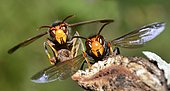 Asian hornet (Vespa velutina) in front of their nest, edges of Loire, Nantes, France