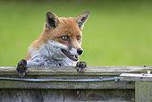 Renard roux (Vulpes vulpes) regardant par dessus une barrière, Angleterre