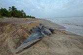 Leatherback turtle (Dermochelys coriacea) laying on a beach, French Guiana