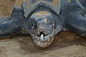 Portrait of Leatherback turtle (Dermochelys coriacea) on a beach, French Guiana