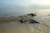 Leatherback turtle (Dermochelys coriacea) back to sea after laying on a beach, French Guiana
