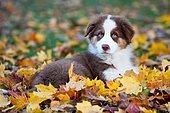Australian Shepherd puppy lying in autumn foliage, North Tyrol, Austria, Europe
