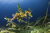 Leafy Sea Dragon (Phycodurus eques) male carrying eggs, South Australia