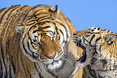 Portrait of Siberian Tigers (Panthera tgris altaica) in winter, Siberian Tiger Park, Harbin, China