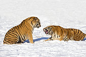 Siberian Tigers (Panthera tgris altaica) submissive attitude in snow, Siberian Tiger Park, Harbin, China