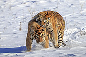 Siberian Tigers (Panthera tgris altaica) fighting in snow, Siberian Tiger Park, Harbin, China