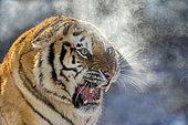 Portrait of Siberian Tiger (Panthera tgris altaica) in winter, Siberian Tiger Park, Harbin, China