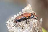 Red palm weevil (Rhynchophorus ferrugineus), pest which attacks palm trees from Asia, Mandelieu la Napoule,French Riviera, France