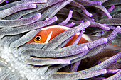 Pink-clownfish (Amphiprion perideraion), Siladen, North Sulawesi, Indonesie