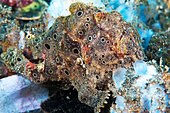 Painted frogfish (Antennarius pictus) on bottom, Lembeh, North Sulawesi, Indonesia
