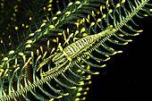 Ambon Crinoid Shrimp (Laomenes amboinensis), Siladen, North Sulawesi, Indonesia