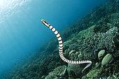 Banded sea krait (Laticauda laticaudata), Siladen, North Sulawesi, Indonesia
