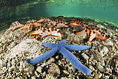 Blue linckia sea star (Linckia laevigata) et Chocolate Chip Sea Star (Protoreaster nodosus), Siladen, north sulawesi, indonesia