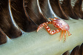 Three-lobed porcelain crab (Porcellanella triloba), Siladen, North Sulawesi, Indonesia
