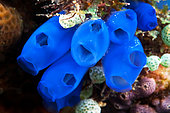 Royal blue tunicate (Rhopalaea sp) in reef, Gangga island, North Sulawesi, Indonesia