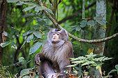 Northern pig-tailed macaque (Macaca leonina) on ground, Trishna wildlife sanctuary, Tripura state, India