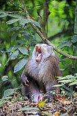 Northern pig-tailed macaque (Macaca leonina) yawning on ground, Trishna wildlife sanctuary, Tripura state, India