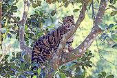 Clouded leopard (Neofelis nebulosa) in a tree, Trishna wildlife sanctuary, Tripura state, India