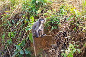 Phayre's leaf monkey or Phayre's langur (Trachypithecus phayrei) on ground, Trishna wildlife sanctuary, Tripura state, India